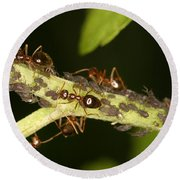 Ants Tending Aphids Round Beach Towel