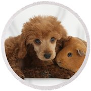Apricot Miniature Poodle Pup With Red Round Beach Towel