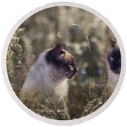 Are You Dreaming About Me - Siamese Feral Cat Round Beach Towel