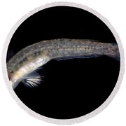 Arrow Goby Round Beach Towel