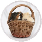 Baby Guinea Pigs In A Wicker Basket Round Beach Towel