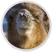 Bactrian Camel Camelus Bactrianus Round Beach Towel