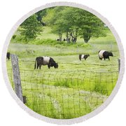 Belted Galloway Cows On  Farm Rockport Maine Photo Round Beach Towel