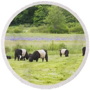 Belted Galloway Cows Pasture Rockport Maine Photograph Round Beach Towel