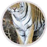 Bengal Tiger In Pench National Park Round Beach Towel