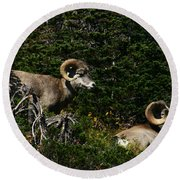 Big Horn Sheep Glacier National Park Round Beach Towel
