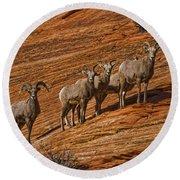 Bighorn Sheep, Zion National Park, Utah Round Beach Towel