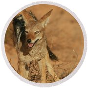 Black-backed Jackal Round Beach Towel