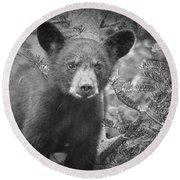 Black Bear Cub In A Pine Tree Round Beach Towel