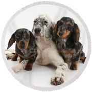 Blue Belton Setter And Dachshund Pups Round Beach Towel