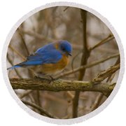 Blue Bird Perched On Willow Round Beach Towel