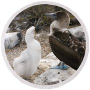 Blue-footed Booby Mother And Chick Round Beach Towel