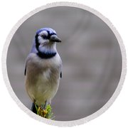 Blue Jay In The Pine Round Beach Towel
