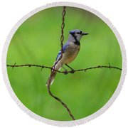 Blue Jay On Crossed Wire Round Beach Towel