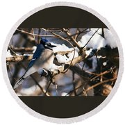 Blue Jay Staying Warm Round Beach Towel