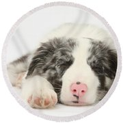 Blue Merle Border Collie Pup Round Beach Towel
