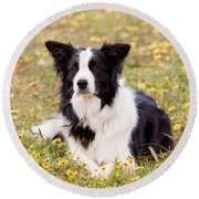 Border Collie In Field Of Yellow Flowers Round Beach Towel