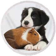 Border Collie Pup And Tricolor Guinea Round Beach Towel