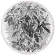 Botany: Ficus Elastica Round Beach Towel