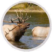 Bugling Bull Elk And 2 Female Cows In Estes Lake  Co Round Beach Towel