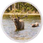 Bugling Bull Elk And Calf Colorado Rut 4 Round Beach Towel
