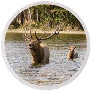 Bugling Bull Elk And Calf Colorado Rut  Round Beach Towel