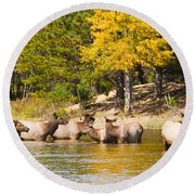 Bull Elk Watching Over Herd 2 Round Beach Towel