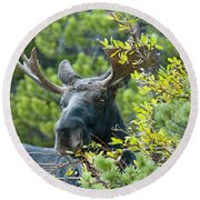 Bull Moose At Dusk Round Beach Towel