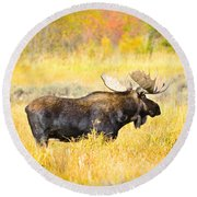 Bull Moose In Autumn Round Beach Towel