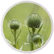 Bull Or Spear Thistle Buds- Cirsium Vulgare Round Beach Towel