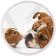 Bulldog Pup Face-to-face With Guinea Pig Round Beach Towel