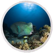 Bumphead Parrotfish, Australia Round Beach Towel