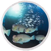 Bumphead Parrotfish Round Beach Towel