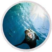 California Sea Lion, La Paz, Mexico Round Beach Towel by Todd Winner
