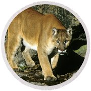 Canadian Cougar Round Beach Towel