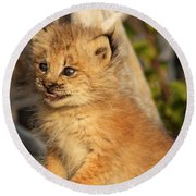 Canadian Lynx Kitten, Alaska Round Beach Towel
