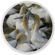 Cape Gannets Round Beach Towel