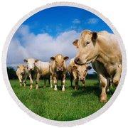 Cattle, Charolais Round Beach Towel