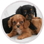 Cavalier King Charles Spaniel Puppies Round Beach Towel