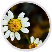 Chamomile Flower In Decay Round Beach Towel