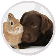 Chocolate Labrador Pup Round Beach Towel
