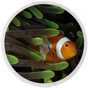 Clownfish In Green Anemone, Indonesia Round Beach Towel