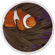 Clownfish In Purple Tip Anemone Round Beach Towel