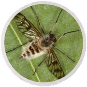 Cluster Fly Killed By Parasitic Fungus Round Beach Towel