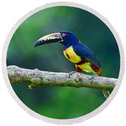 Collared Aracari Round Beach Towel