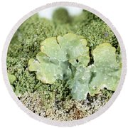 Common Greenshield Lichen Round Beach Towel by Ted Kinsman