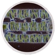 Conjugation In Spirogyra Algae Lm Round Beach Towel