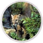 Cougar Coming Through Round Beach Towel
