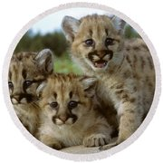 Cougar Cubs On A Rock Round Beach Towel