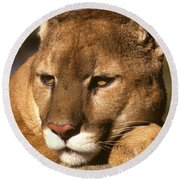 Cougar Relaxing. . . Round Beach Towel